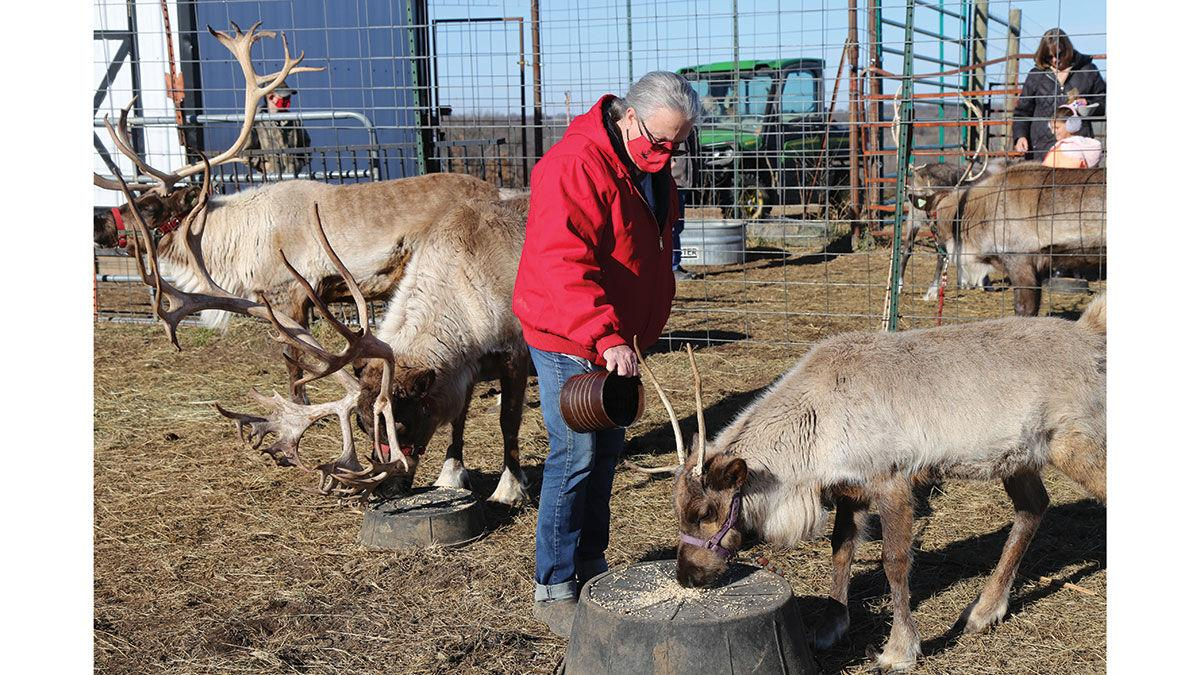 Jane Bethards tends to a couple of the reindeer