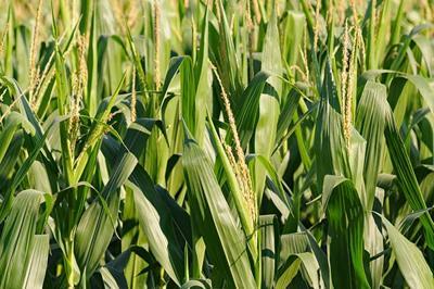 corn tassels