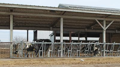 Dairy cattle building