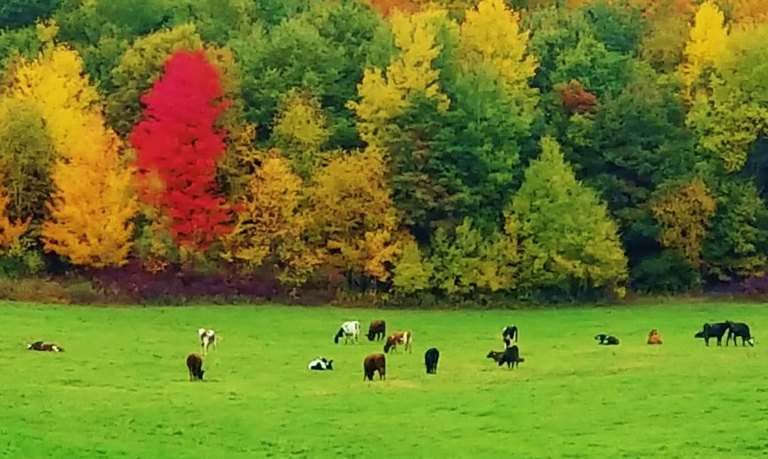 Heifers graze at farm of Mariann Holm