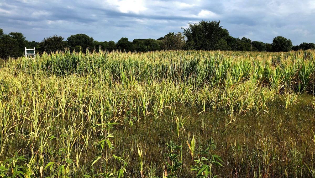 Corn crops damaged in field
