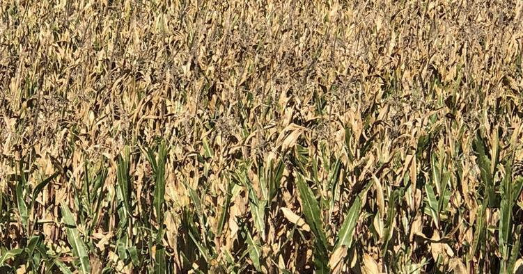 Corn near Wheatland