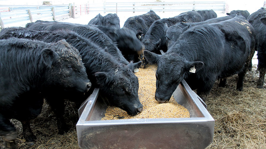Feed Ration photo with cattle