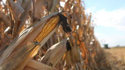Corn ear at harvest