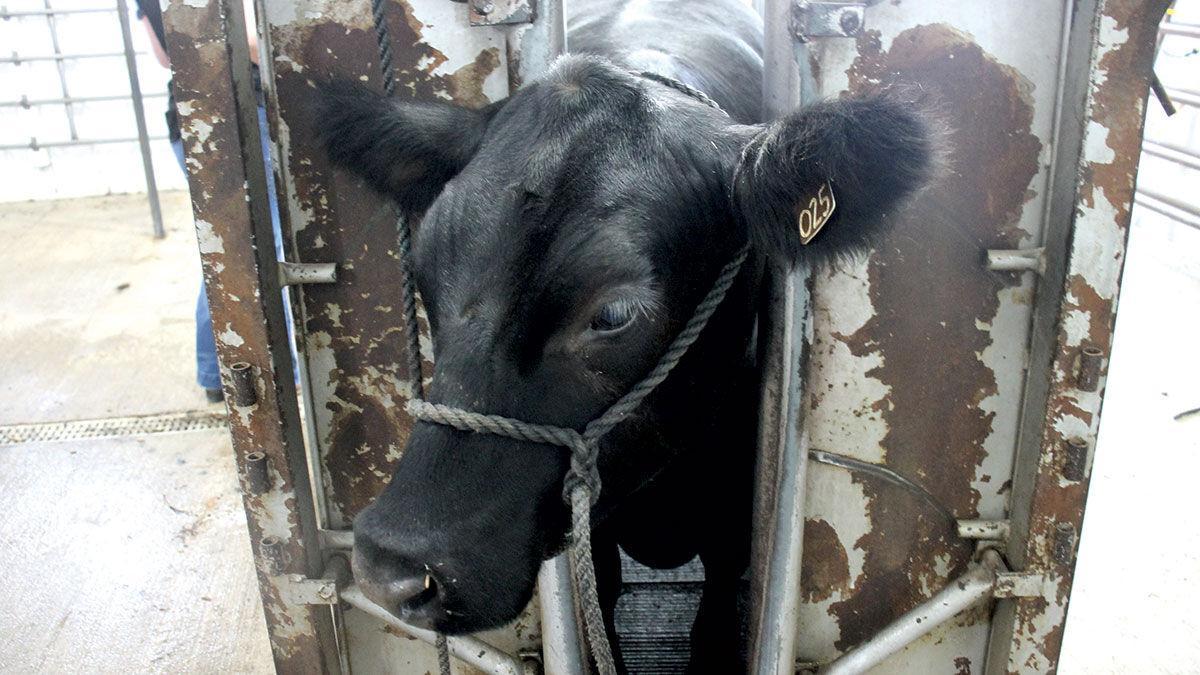 Livestock safety