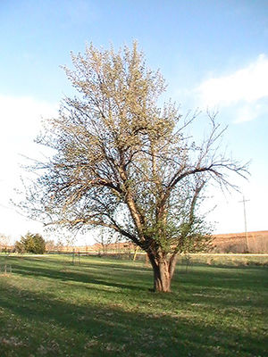 Clifton Kennel apple tree