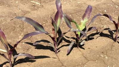 Phosphorus-deficient corn plants