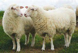 sheep pix