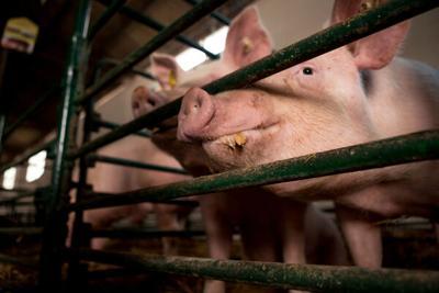 Swine zinc