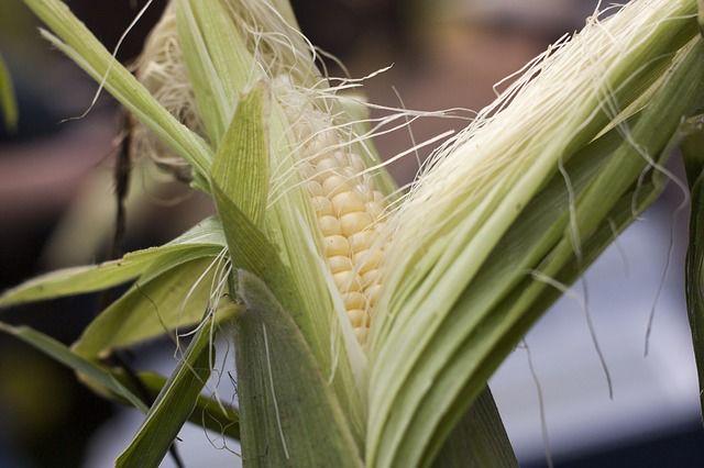 Sweet corn gardening