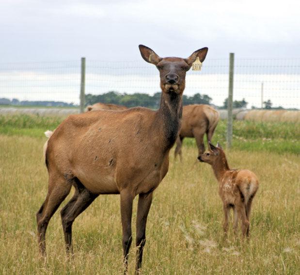Elk cow with calf