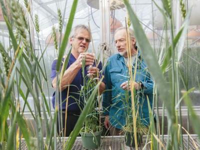 Phil Bruckner, left, professor of plant sciences and plant pathology, Jim Berg, research associate