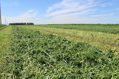 Alfalfa cutting
