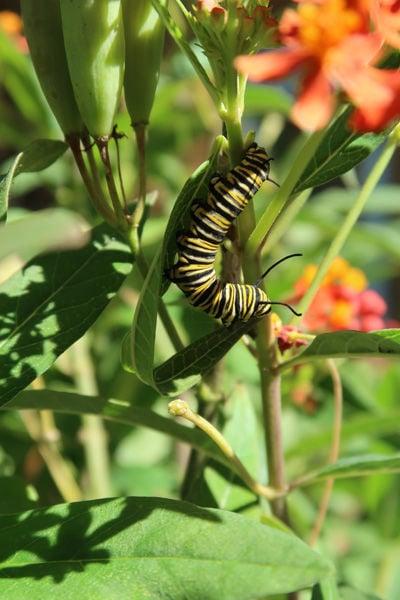 Farmers for monarchs caterpillar