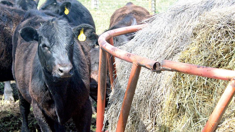 Cattle at hay feeder