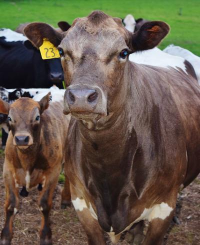 Murray Grey crossbred cow