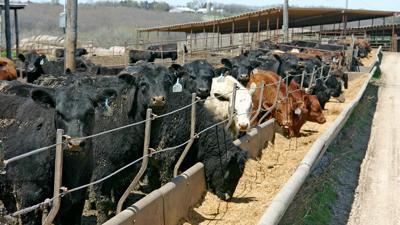 Cattle at feeder