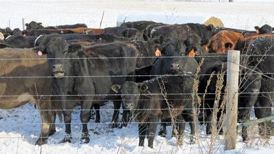 Cattle with snow