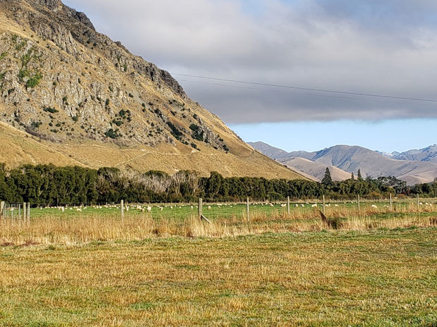 New Zealand sheep graze
