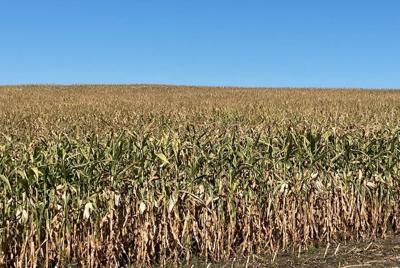 Corn drying down