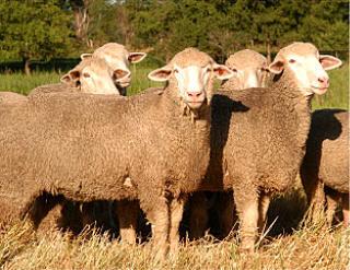 Targhee sheep