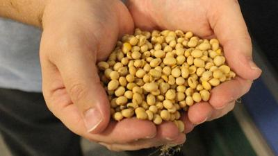 Holding soybeans in hand