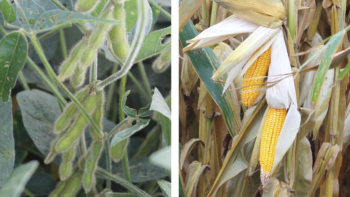 Soybeans Corn split screen mid summer