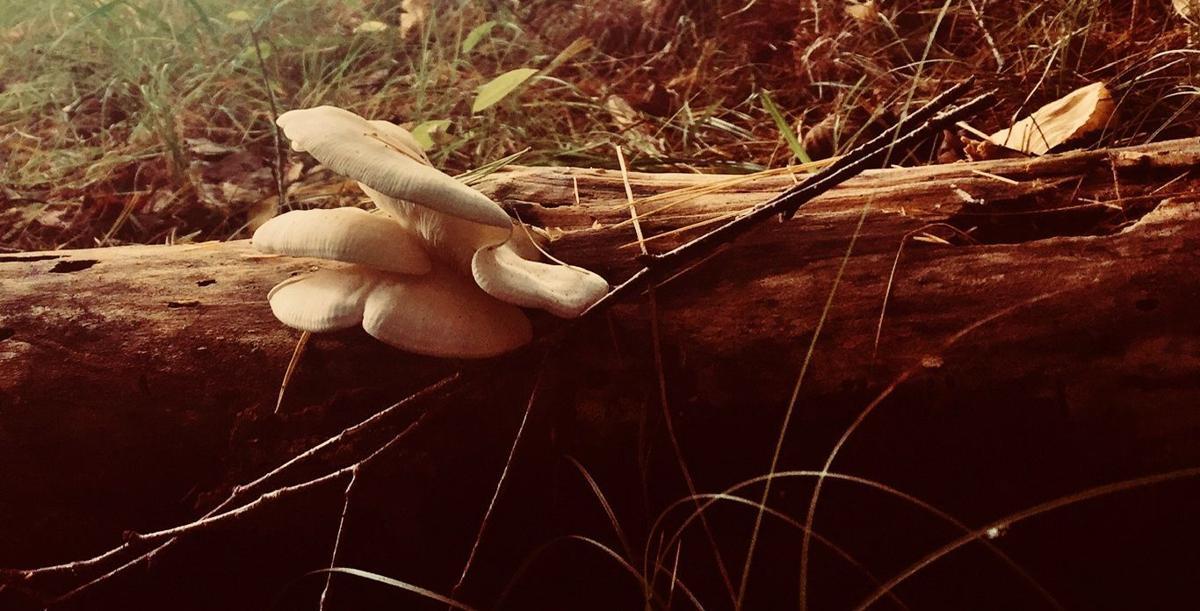Elm Oyster mushrooms