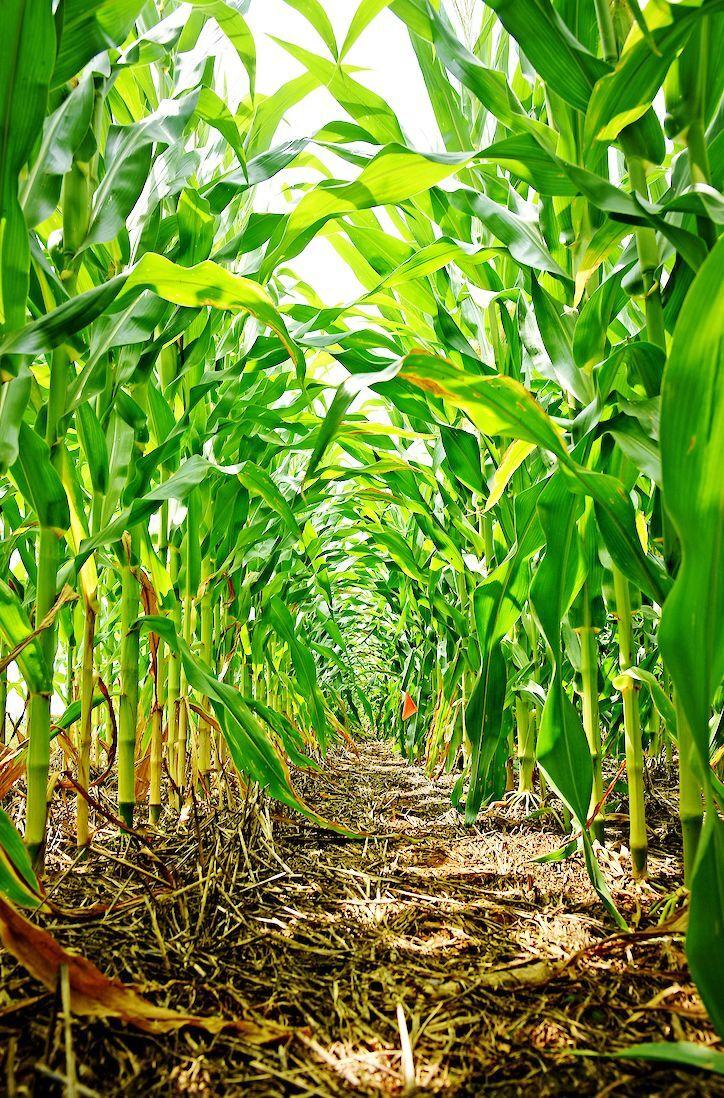 Corn plants planting canopy in field