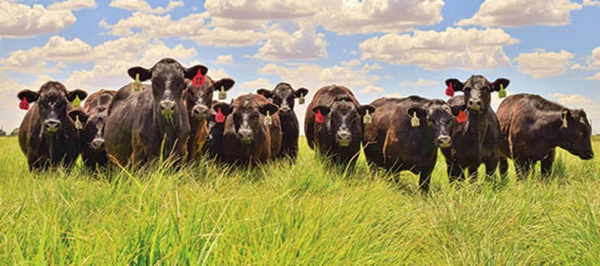 Beef cows stand in field