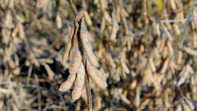 Soybean pods at harvest