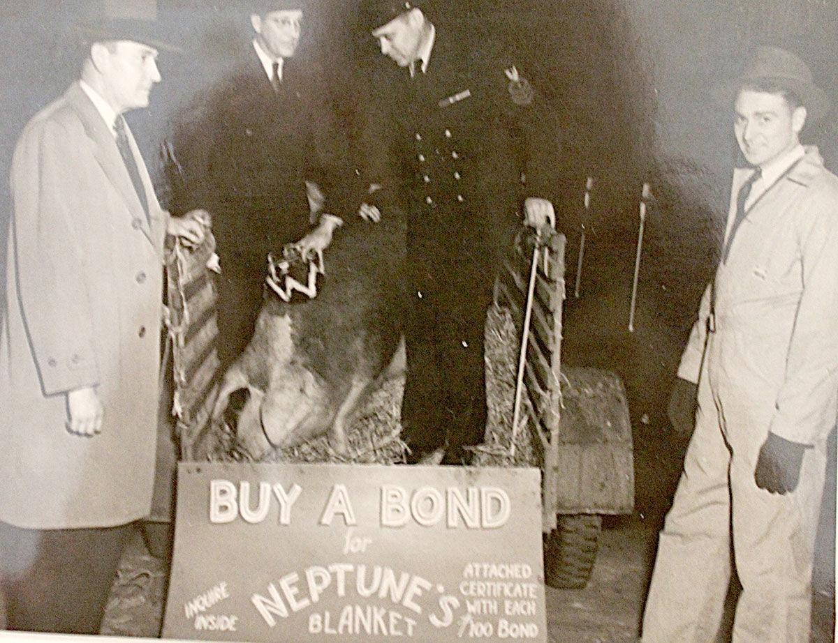 Hereford hog King Neptune blanket