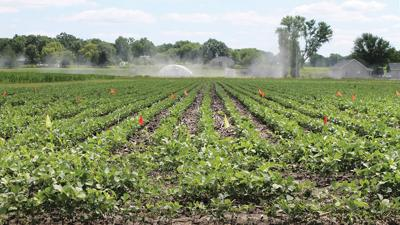 test plot of soybeans grows at MU's Hundley-Whaley Research Center