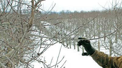 Fruit trees in Winter