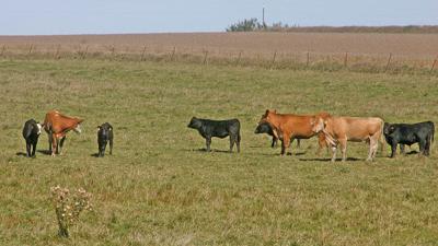Cow calf pasture