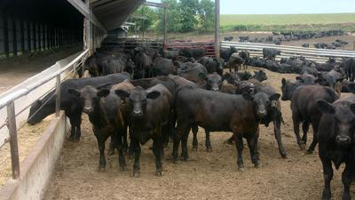 Cattle at feedlot
