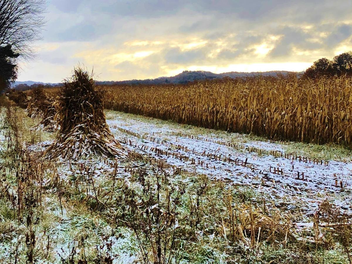 Corn shocks stand in a field