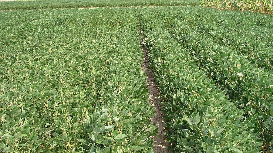 15-inch row soybeans