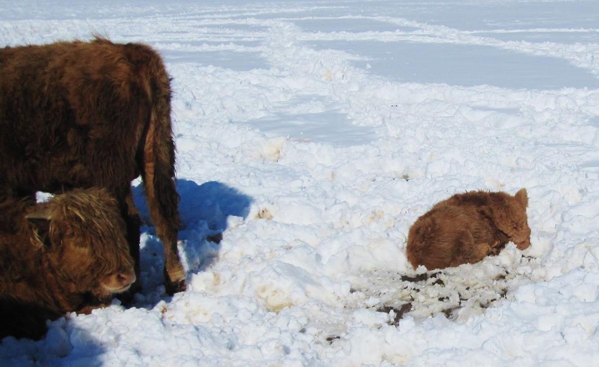 Scottish Highland calf in snow