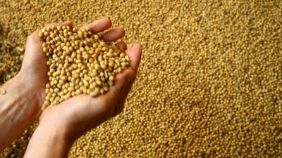 Soybeans in hand (copy)