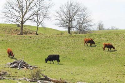 Cattle Grazing - Pastures