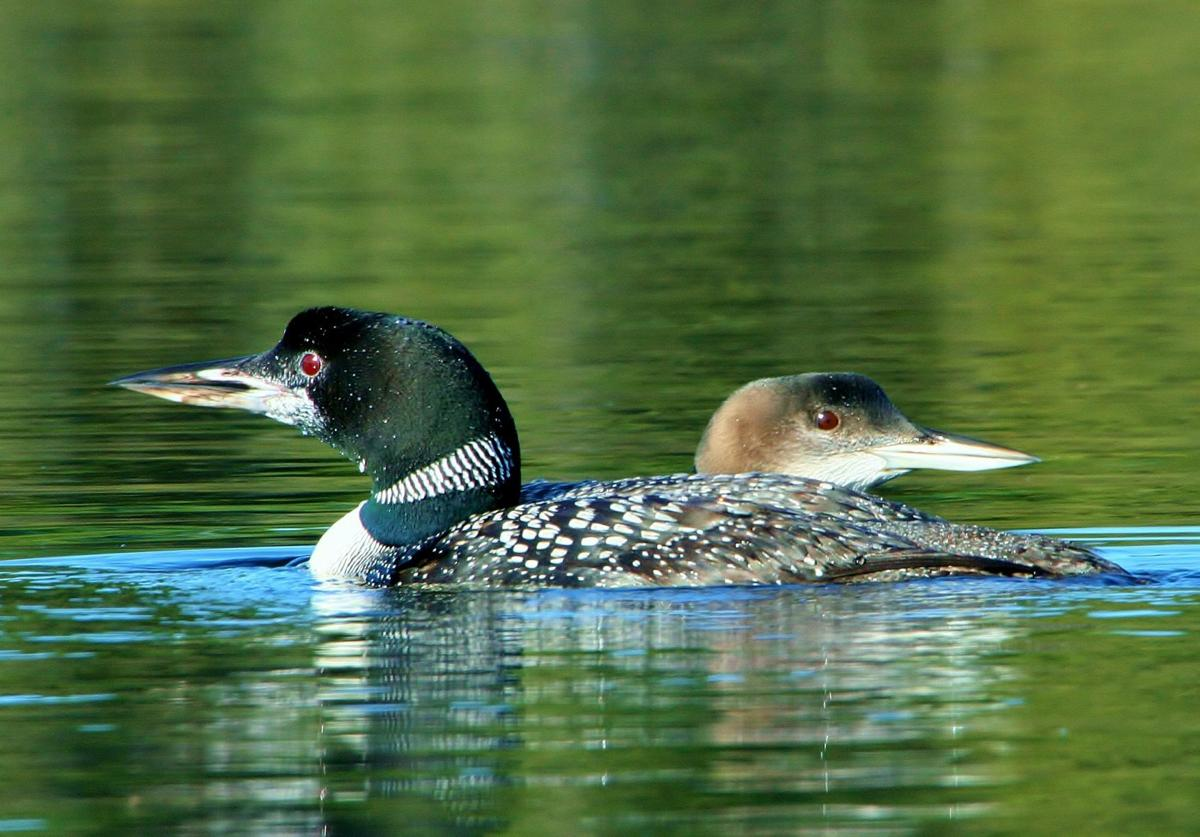 Loon parent and young