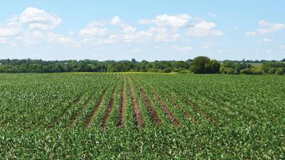 Corn field early June