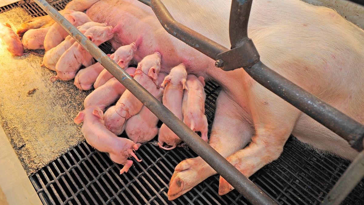 Sow with litter of piglets