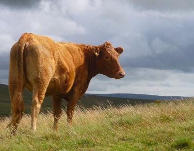 DREC cow on range