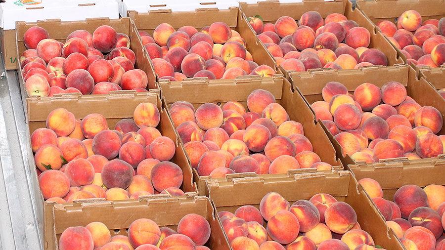 Peach harvest