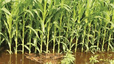 flooded Springfield-area corn field