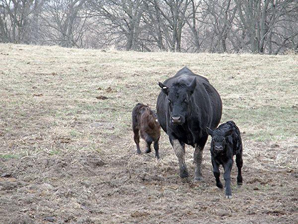 cattle stress