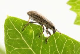 Pea leaf weevil