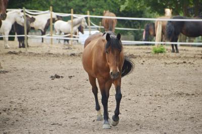 Horses vesicular stomatitis